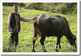 Uttarakhandi villager with cattle