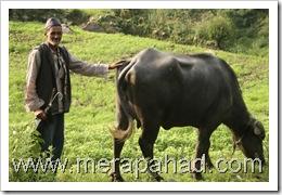 Uttarakhandi villager with cattle