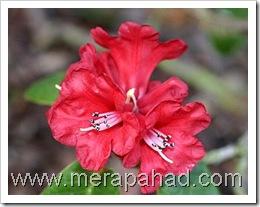 burans_flower